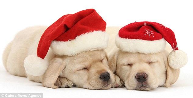 Pups in Santa Hats